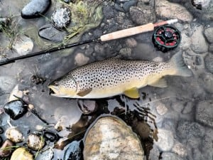 Not all Valley Garden trout are this fat, but many are