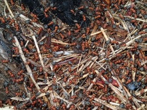 Ants from a Madison River Ant Mound