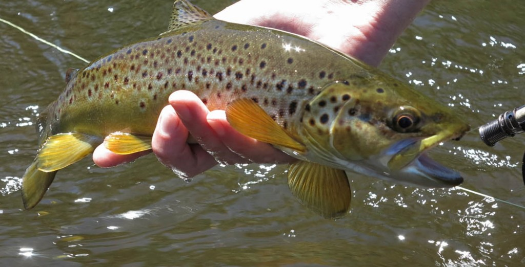 Tasmanian Brown Trout