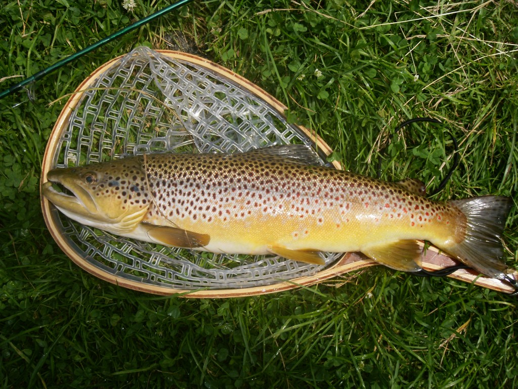 "A 22"" brown caught ""Speed Nymphing"""